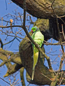Ring-necked Parakeet — Stock Photo