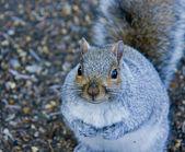 Grijze eekhoorn — Stockfoto