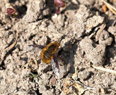 Common Bee-fly — Stock Photo