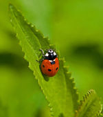 Seven-spot Ladybird — Stock Photo