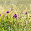 Wildflower Meadow — Stock Photo #30193035