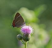 White-letter Hairstreak Butterfly — Stock Photo
