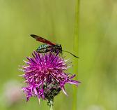 Six spot Burnet Moth — Stock Photo