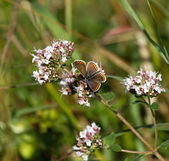 Brown Argus Butterfly — Stock Photo