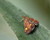 Mint Moth — Stock Photo