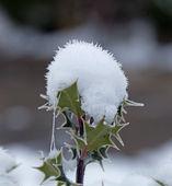 Holly Snow Cone — Stock Photo