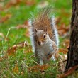 Grey Squirrel Peeping — 图库照片