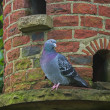 Stock Photo: Pigeon on Dovecote