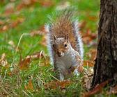 Grey Squirrel Peeping — Stock Photo