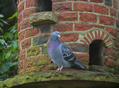 Pigeon on Dovecote — Stock Photo