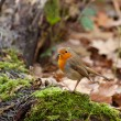 Stock Photo: Robin in Woodland