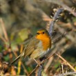 Stock Photo: Robin on Bramble
