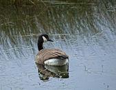 Canada Goose Reflection — Stock Photo