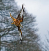 Red Kite Stooping to Right — Stock Photo