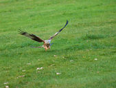 Red Kite Talons Extended — Stock Photo