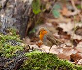 Robin in bos — Stockfoto