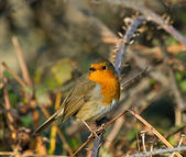 Robin on Bramble — Stock Photo