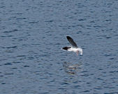 Little Gull Underwing — Stock Photo