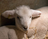 New-born Lamb under Heat Lamp — Stock Photo