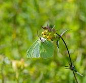 Brimstone Butterfly — Stock Photo