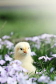 Curieux petit poussin — Photo