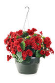 Hanging Begonias — Stock Photo