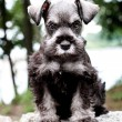 Mini Schnauzer — Stock Photo