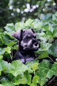 Mini Schnauzer in English Ivy — Stock Photo