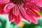 Kırmızı gerber papatya — Stok fotoğraf
