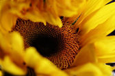 Birth of a Sunflower — Stock Photo