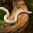 Beautiful albino snake crawling over the tree trunk - Stock Photo
