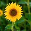 Beautiful sunflower on sunny summer day — Stock Photo