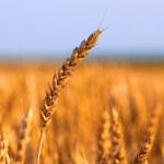 Field of ripe wheat under the golden sunlight on sunny summer day — Stock Photo #21817873