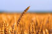 Field of ripe wheat under the golden sunlight on sunny summer day — Foto Stock