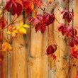Beautiful climber with red leaves climbing over the wooden fence - Stock Photo
