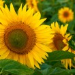 Stock Photo: Beautiful sunflower on agricultural field at summer