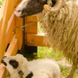 Ram and lamb in the cote — Stock Photo