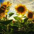 Beautiful sunflowers on the field — Stock Photo #27697039