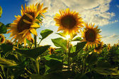 Beautiful sunflowers on the field — Stock Photo
