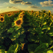 Beautiful sunflowers on the field — Stock Photo