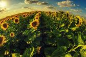 Belle girasoli sul campo — Foto Stock