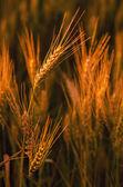 Field of ripe wheat — Stock Photo