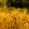 Field of wheat — Stock Photo #31145049