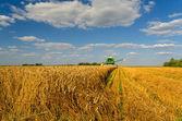 Combine harvester harvesting wheat — Stock Photo