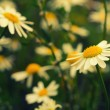 Chamomile flowers on the meadow — Stock Photo