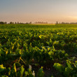 Irrigation of sugar beet agricultural field — Stock Photo