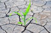 Maíz que crece en las tierras agrícolas seca — Foto de Stock