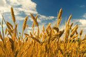 Wheat field on sunny summer day — Stock Photo