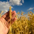 Hand holding one stem of ripe wheat — Stock Photo #48467687