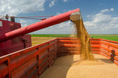 Combine harvester unloads wheat grain — Stock Photo